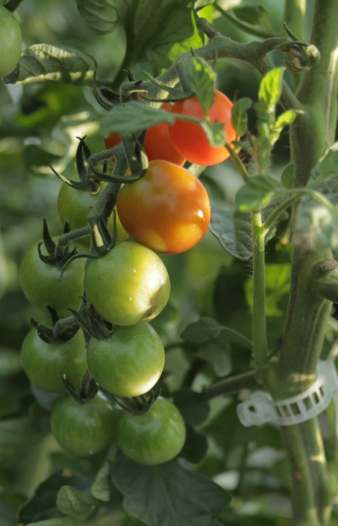 Cherry Tomatoes Ripening on the Vine